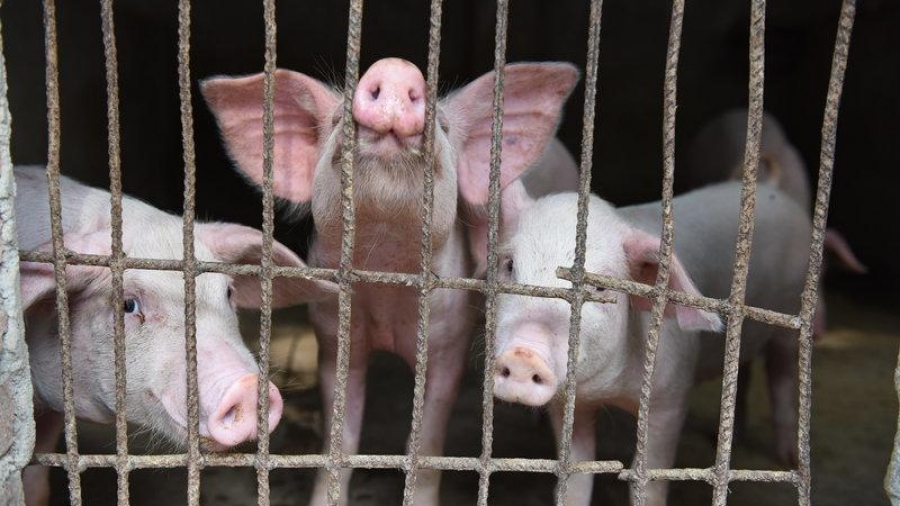 Caged Pigs carriers of Swine Flu, threatening Chinese health outbreak